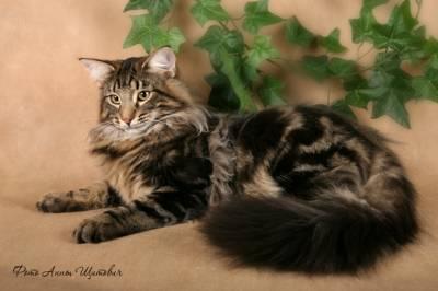 Шерсть норвежской лесной кошки средней длины с плотным